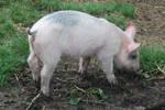 Stock 396 - Pig