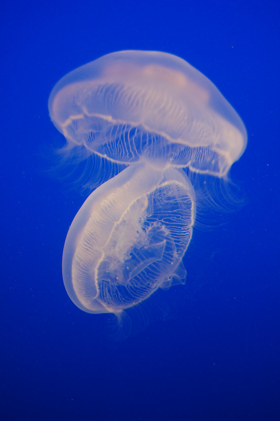 Stock 464 - Jellyfish by pink-stock
