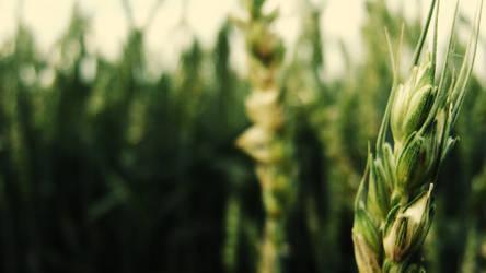 wheat by NeLiIiTa