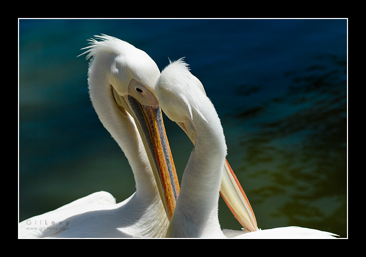 Pelicans in Love by Gil-Levy