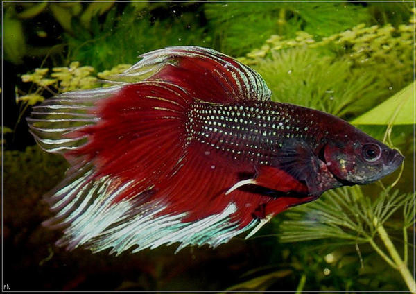How to breed bettas by darkmoon17 on deviantart for How to breed betta fish
