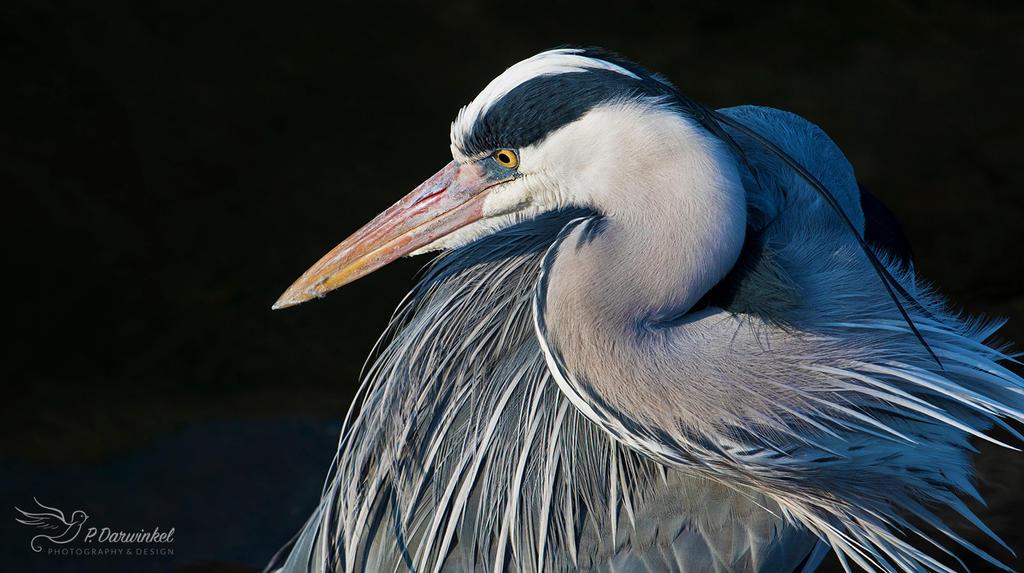 Heron Portrait by PaulaDarwinkel