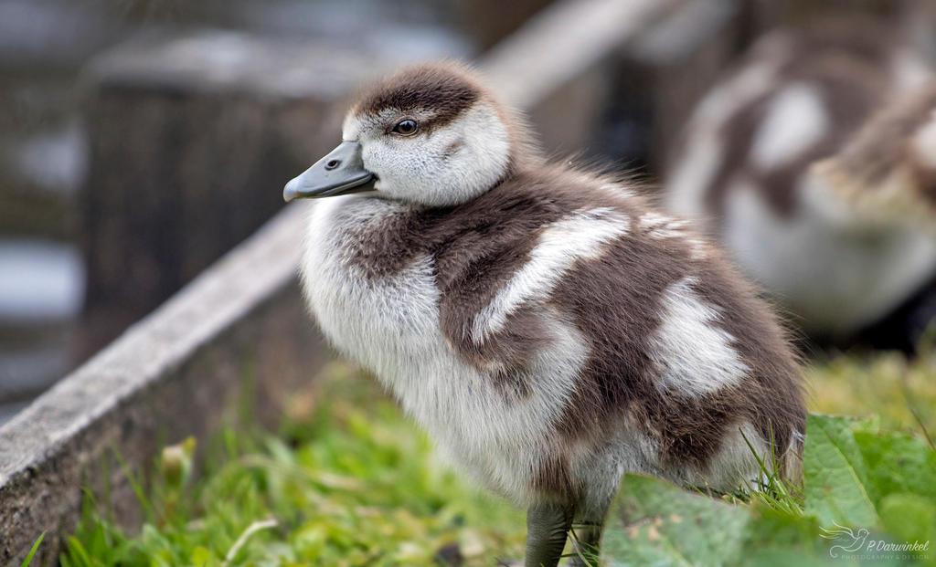 Egyptian Goose Gosling by PaulaDarwinkel