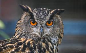 Eurasian Eagle-Owl by PaulaDarwinkel