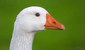Goose by PaulaDarwinkel