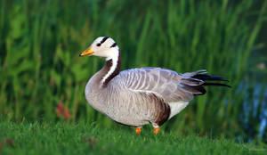 Bar-headed Goose by PaulaDarwinkel
