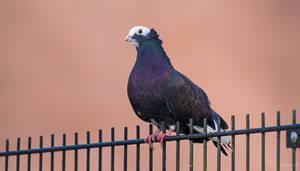 Pigeon by PaulaDarwinkel