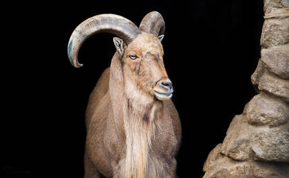 Barbary sheep by PaulaDarwinkel