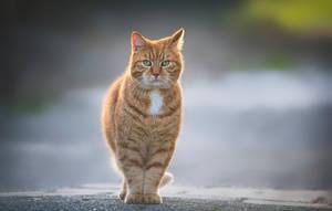 Ginger Cat by PaulaDarwinkel