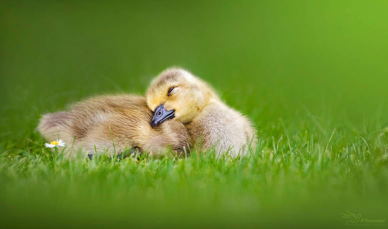 Sleepy Gosling by PaulaDarwinkel