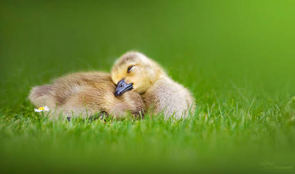 Sleepy Gosling by PaulaDarwinkel