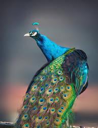 Peacock by PaulaDarwinkel