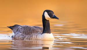 Canada Goose by PaulaDarwinkel