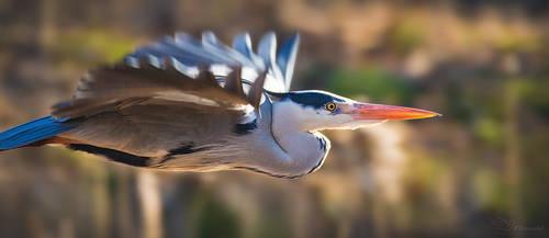 Grey Heron by PaulaDarwinkel