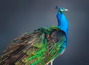 Peacock by PaulaDarwinkel