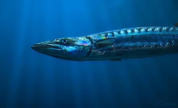 Barracuda by PaulaDarwinkel