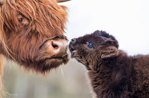 Highland Cattle by PaulaDarwinkel