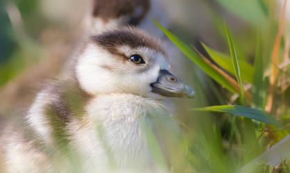 Egyptian Goose Chick by PaulaDarwinkel