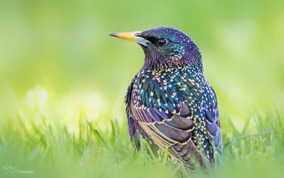Starling by PaulaDarwinkel