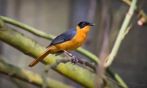 Snowy-crowned robin-chat by PaulaDarwinkel