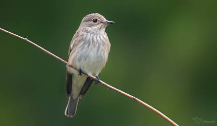 Spotted Flycatcher by PaulaDarwinkel