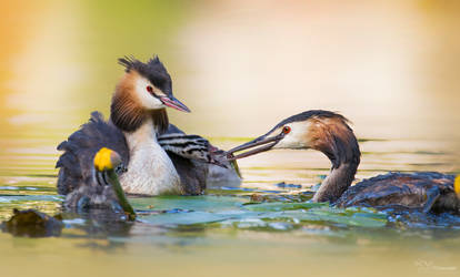 Great Crested Grebe Family by PaulaDarwinkel