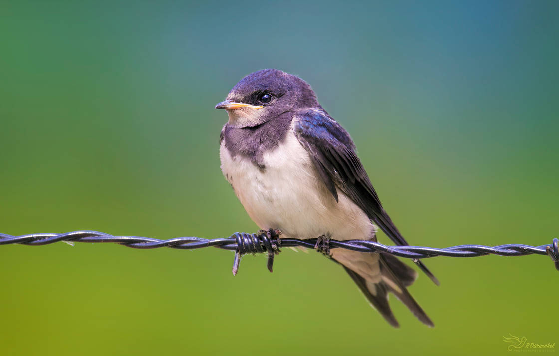 Juvenile Barn Swallow by PaulaDarwinkel