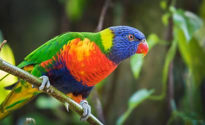 Rainbow Lorikeet by PaulaDarwinkel