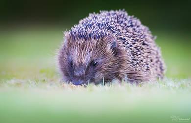 Hedgehog by PaulaDarwinkel