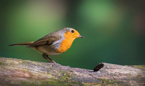 Robin by PaulaDarwinkel