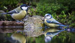 Great- and Blue Tit