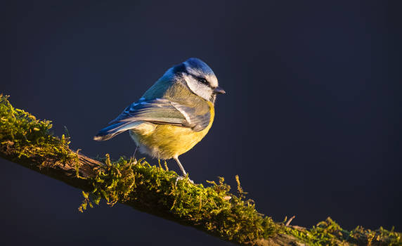 Blue Tit by PaulaDarwinkel