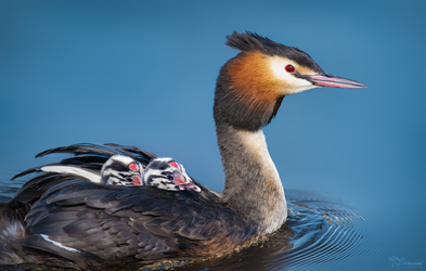 Great Crested Grebe by PaulaDarwinkel