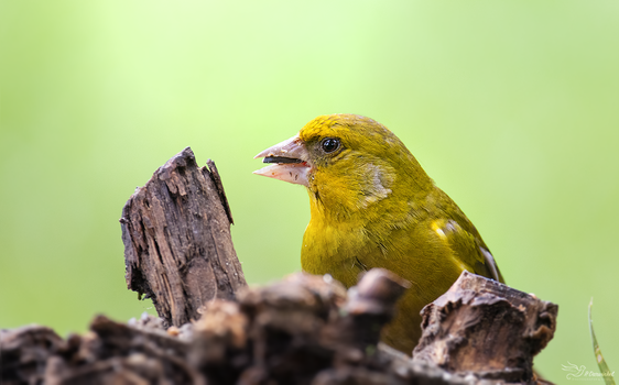 Greenfinch Portrait