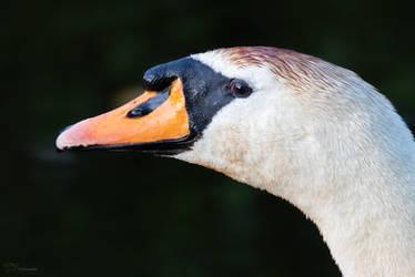 Swan portrait by PaulaDarwinkel