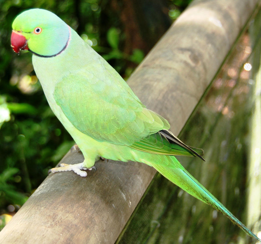 Alexandrine Parrot from India by LESHAIndian Parrot Wallpaper