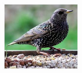 male starling by RickyJones