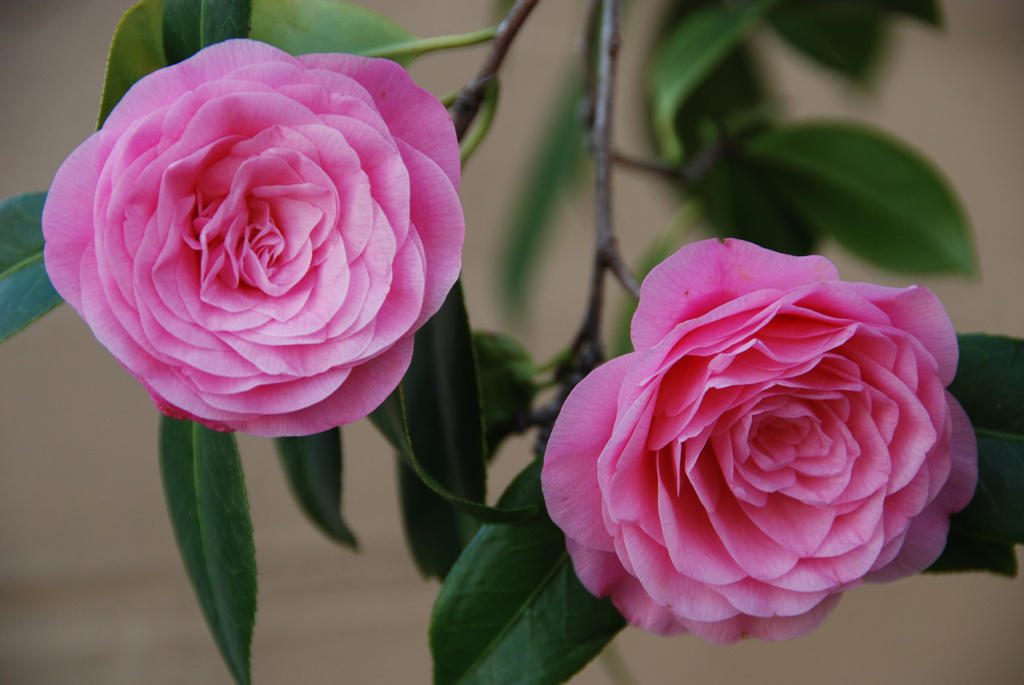 Hot pink camellia twins by kayandjay100 on deviantart hot pink camellia twins by kayandjay100 mightylinksfo