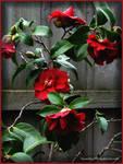 Deep Red Camellias