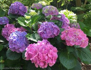 Springvale Hydrangeas