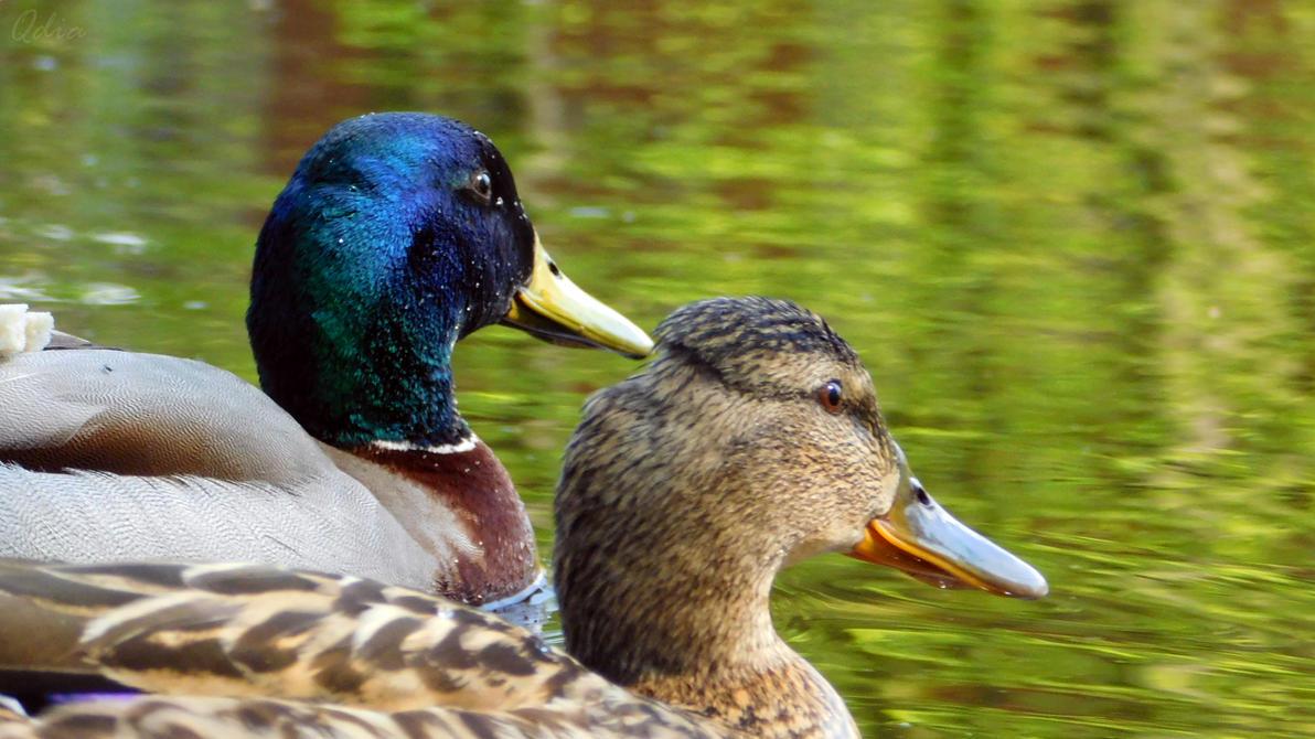 Photo #449 - Kaczki / Ducks by Kagu-chan-create