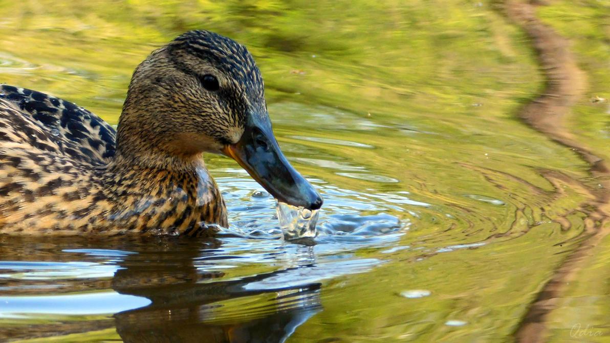 Photo #448 - Kaczka / Duck by Kagu-chan-create