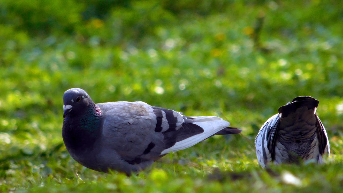 Photo #450 - Golebie / Pigeons by Kagu-chan-create
