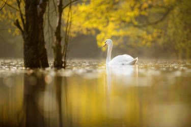 Swan on an evening lake by AlesGola