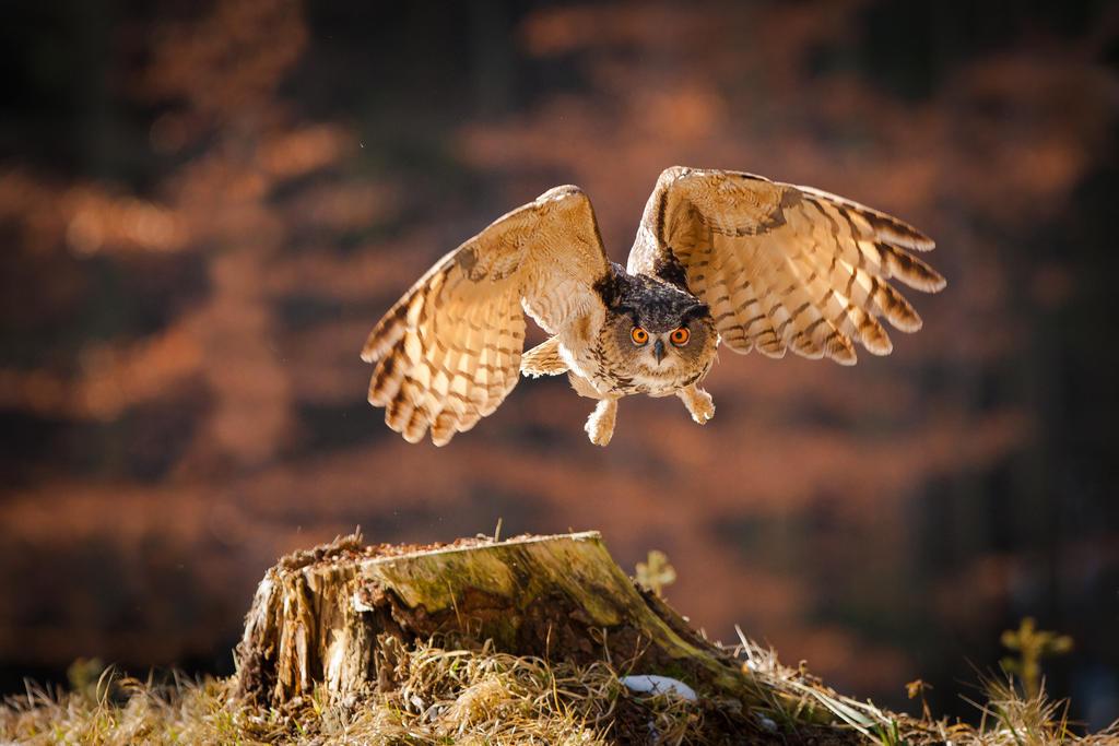 Flying eagle owl by AlesGola