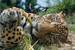 Playing jaguar