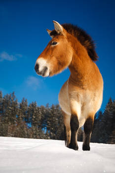 Curious horse (Przewalski`s horse)