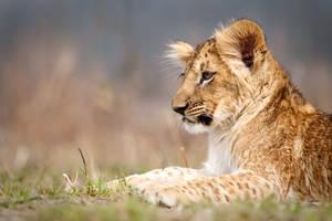 Portrait of lion cub Fufik (Panthera leo)