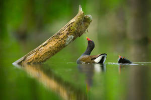 Common Moorhen (Gallinula chloropus) with a chick by AlesGola