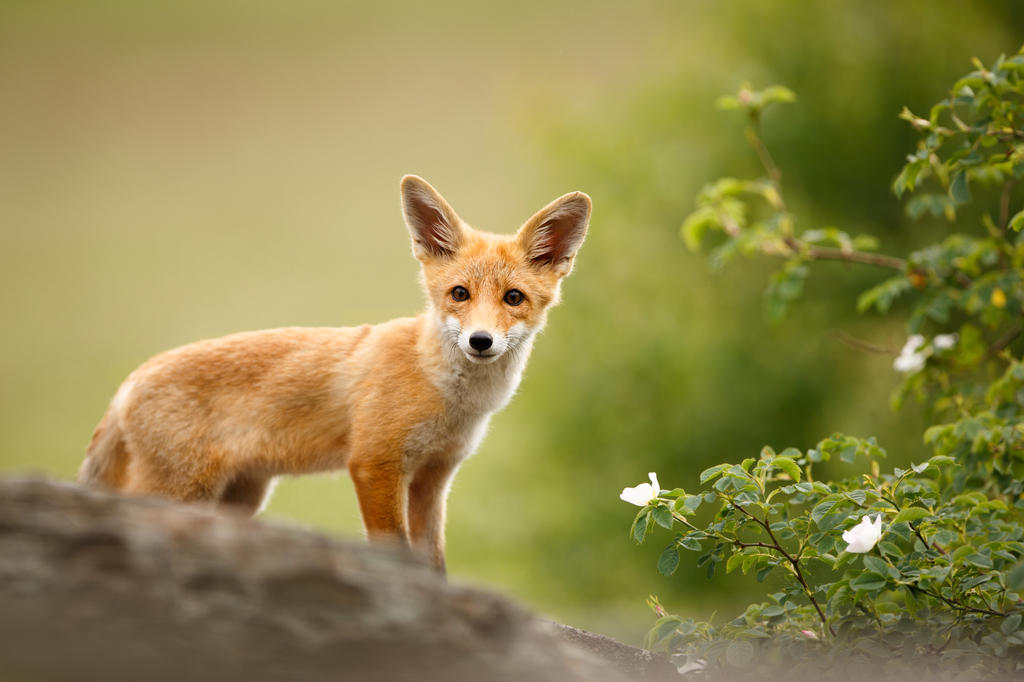 Fox cub on the rock (Vulpes vulpes) by AlesGola
